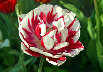 Close-up of single pink and white tulip in a spring garden. Pink double tulip