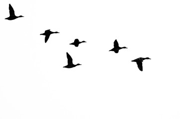 Wall Mural - Flock of Ducks Silhouetted on a White Background