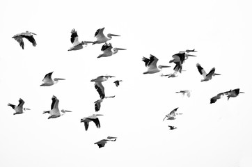 Wall Mural - Flock of American White Pelicans Flying on a White Background