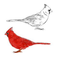 Cardinal bird.  Vector set. Hand drawn illustration