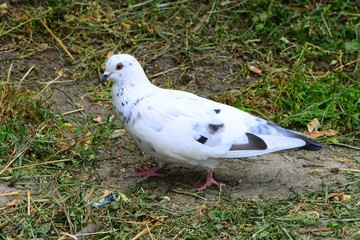 Dove (Columba oenas) foraging in the city