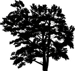 single large black pine silhouette isolated on white