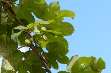 Hops growing on a leafy vine