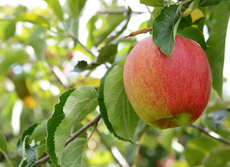 Rosy red apple ready for harvest