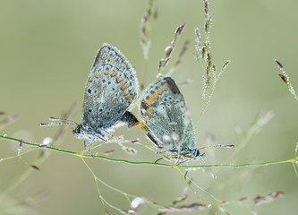 Mating brownies, Lycaenidae covered in dew a cold morning