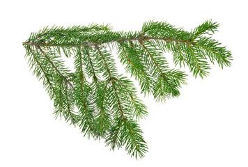 dark green isolated fir branch