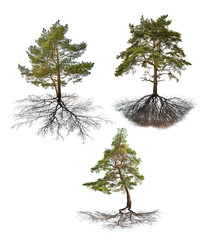 set of three pines with roots isolated on white