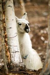 Domestic Llama Eating Hay Farm Livestock Animals Alpaca