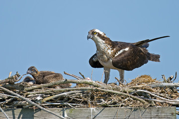 Osprey and Chicks in Nest