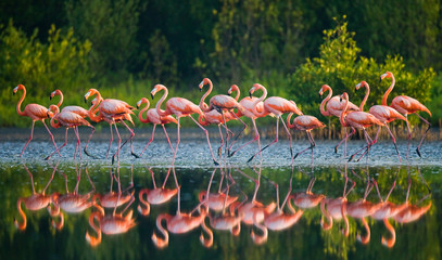 Wall Murals Flamingo Caribbean flamingo standing in water with reflection. Cuba. An excellent illustration.