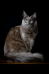 Gray cat studio photo