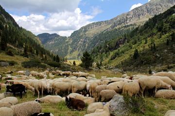gregge in alpeggio (Lagorai, Val di Fiemme)