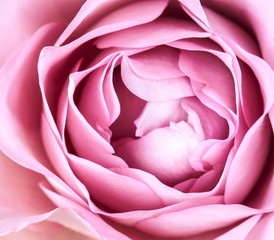 close-up of fresh rose flower
