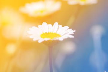 Fiore di Margherita - Fiore di margherita con effetto luce