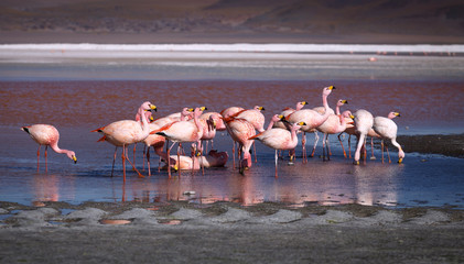 Pink flamingoes in lagoon Colorada, Altiplano, Bolivia