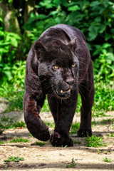 Black Jaguar - Beautiful and elegant cat walking towards the camera