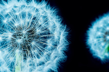 Close up of a dandelion flowers.