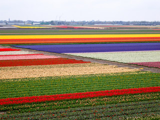 Tulip field pattern