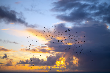 flocks of starlings flying into a blue yellow sunset sky