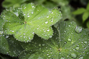 Green leaf with water drops.