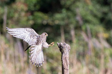 Eurasian Kestrel flying to stump in nature