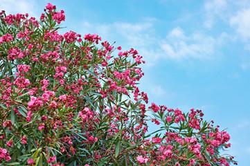 Flowering plant oleander on blue sky
