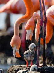 Caribische flamingo op een nest met kuikens. Cuba. Een uitstekende illustratie.