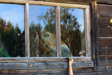Child feeding a horse through a window glass. Picture of a little child hand with  a tuft of grass feeding a horse through a window glass