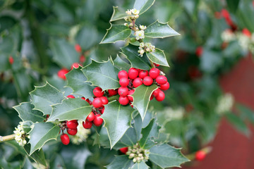 Red Holly Berries and Green Leaves