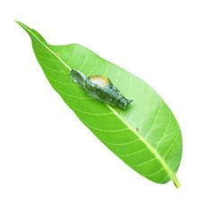 Snails on leaf