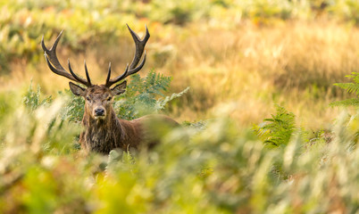 Wall Mural - Red Deer in the bracken