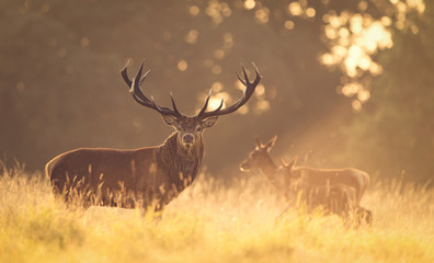 Wall Mural - Red deer stag in the golden morning light