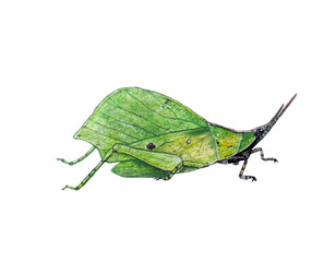 Insect Drawings/leaf grasshopper