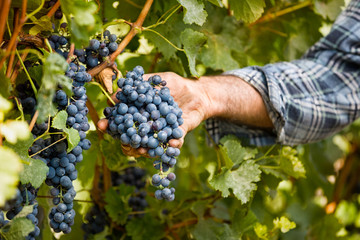 Grapes harvest in vineyard Fototapete
