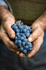Farmers hands with cluster of grapes