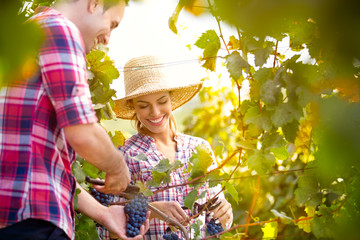 Smiling couple picking grapes