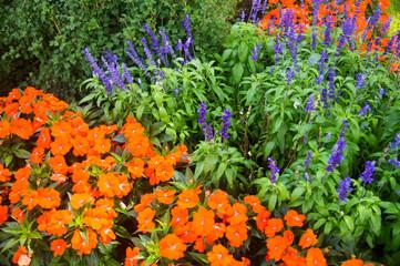 Orange poppies and purple lupines