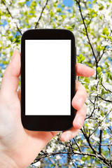 smartphone and blossoming apple tree