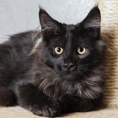 Black mainecoon cat posing