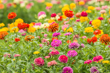 Beautiful colorful flowers field.
