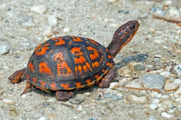 Eastern Box Turtle crossing dirt road