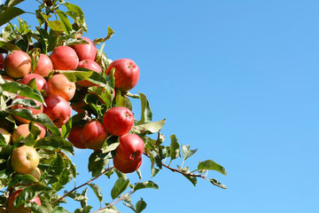 Bright red apples grow high on the tree