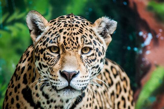Taunting the Jaguar