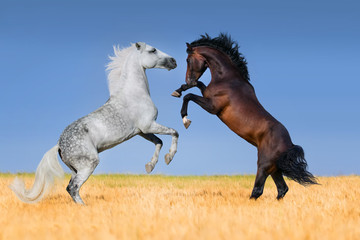 Two stallions rearing up in corm field