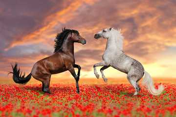 Two stallion rearing up in poppy
