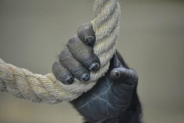 Junger Gorilla hängt am Seil