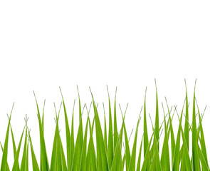 Isolated grass, on white background