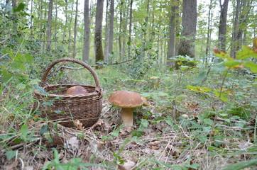Panier champignons cèpe de bordeaux bolet dans la forêt