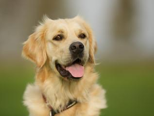 Golden retriever dog on sunny day