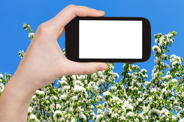 smartphone and spring blossoming tree and blue sky